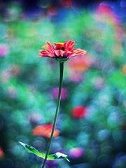 redflowerrainbowcolorsbackdropo.jpg