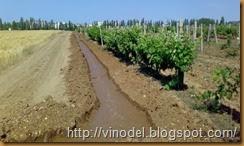 влажность и рост винограда 1