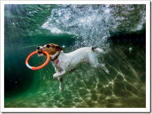 0812-parson-russell-terrier-playing-underwater-670