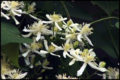autumn clematis2