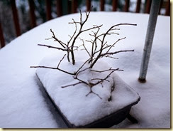 Bonsai in snow