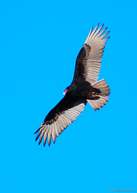 12. t vulture-kab