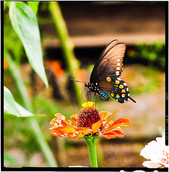 butterfly-6638a