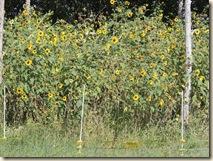 71.Sunflowers