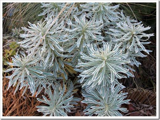 130110_Euphorbia-characias-Glacier-Blue_03