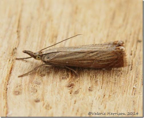Chrysoteuchia-culmella