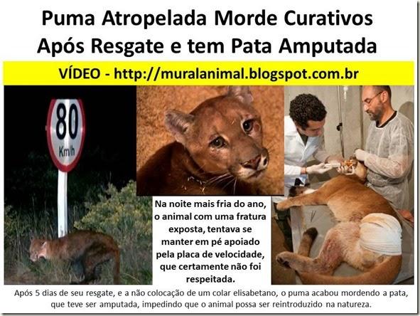 Puma Atropelada Morde Curativos