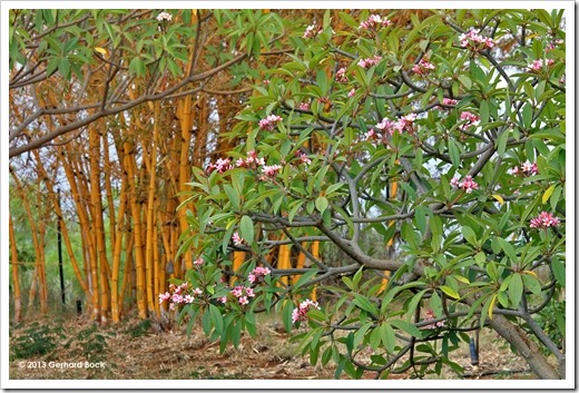 130715_KulaBotanicalGarden_Bambusa-vulgaris-vittata_003