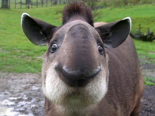 tapir64