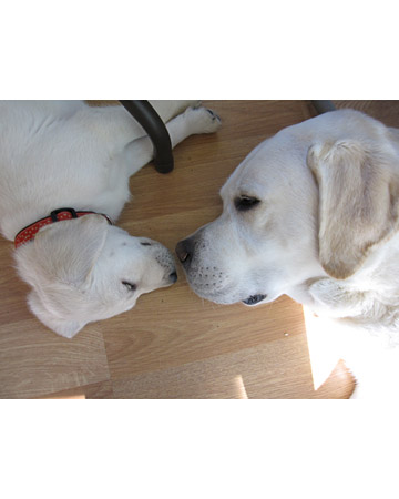 Who says when you snooze you lose? Meet the sleepy winners of our Lazy Pets photo contest, Bogie and his son, Dude, yellow labs from Madison, Wisconsin, taking a nap. Contributed by Nancykbee.