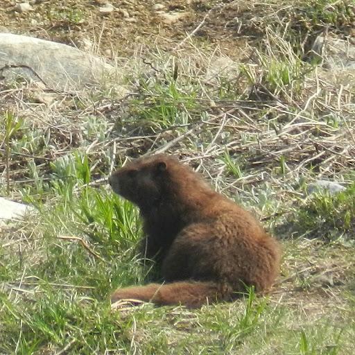 Vancouver.island.marmot.dscn4287