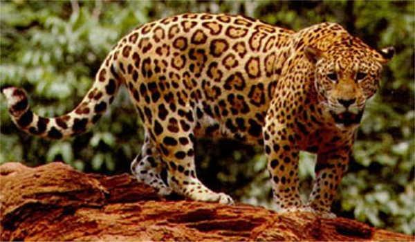 """4- O nome """"jaguar"""""""