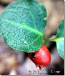 Sue Reno, Partridge berry, macro view 1