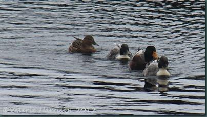 10-ducks
