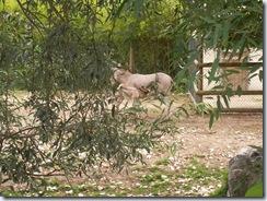 2011.07.26-058 âne de Somalie