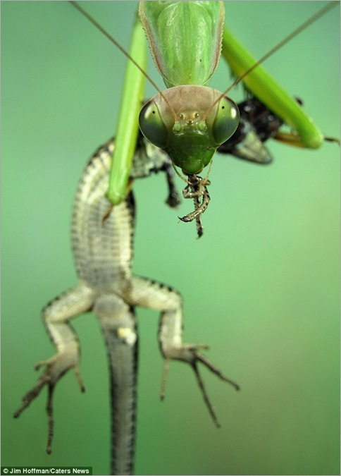 Praying mantis tucks into a lizard twice its size