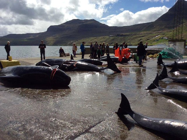 The bodies of 25 to 30 pilot whales slaughtered during the Danish Faroese Grind hunt of 2014 lay on the shore of Fuglafjørður. Photo: Sea Shepherd Conservation Society