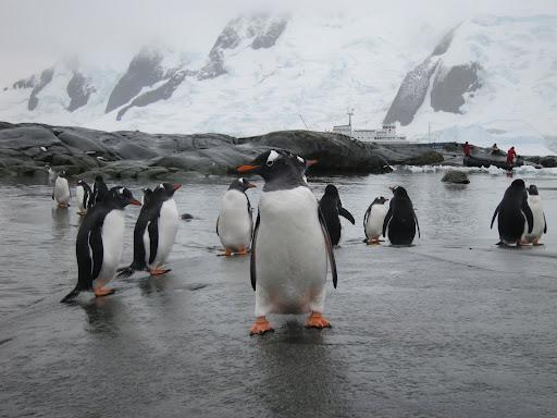 Gentoo Penguins on Pleneau Island