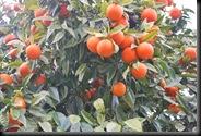 Menton Oranges