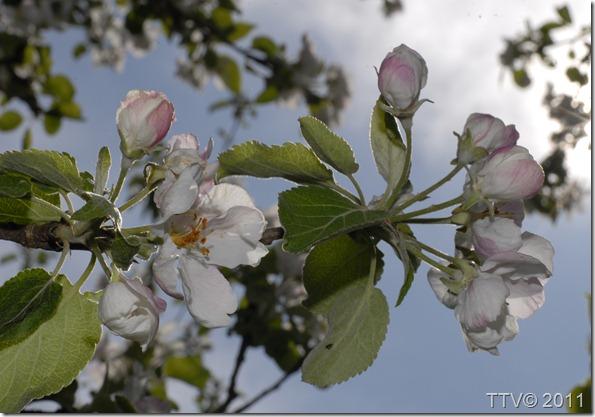 omenan kukkia mustarastas 003