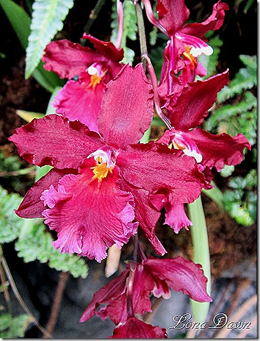 FPC_Orchid_Red