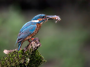 Kingfisher with Catch by Paul Ashton DPAGB BPE1