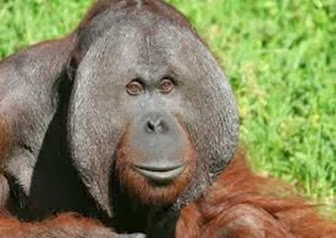 Amazing Pictures of Animals, Photo, Nature, Incredibel, Funny, Zoo, Bornean orangutan,Pongo pygmaeus, Primates, Alex (6)