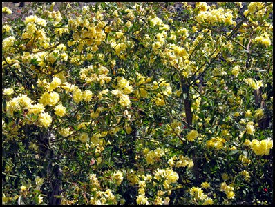 yellow lady banks rose2