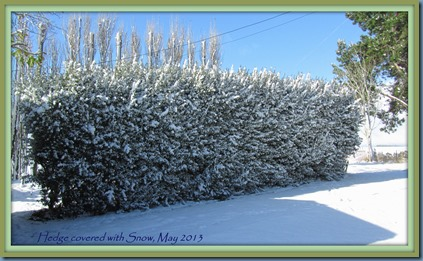 snowy hedge framed,May 2013