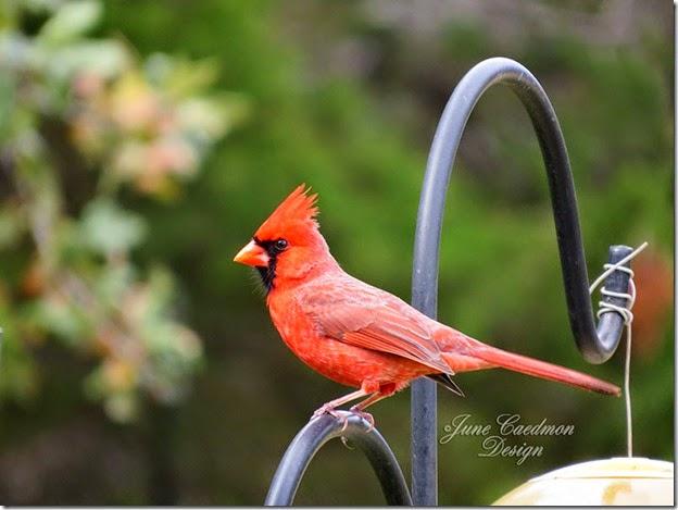Cardinal_Feeders2