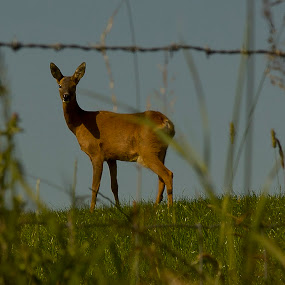 My Deer by Ron Jnr - Animals Other ( roe deer, wild animal, field, countryside, blue sky, animal )