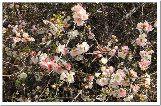 120222_Chaenomeles