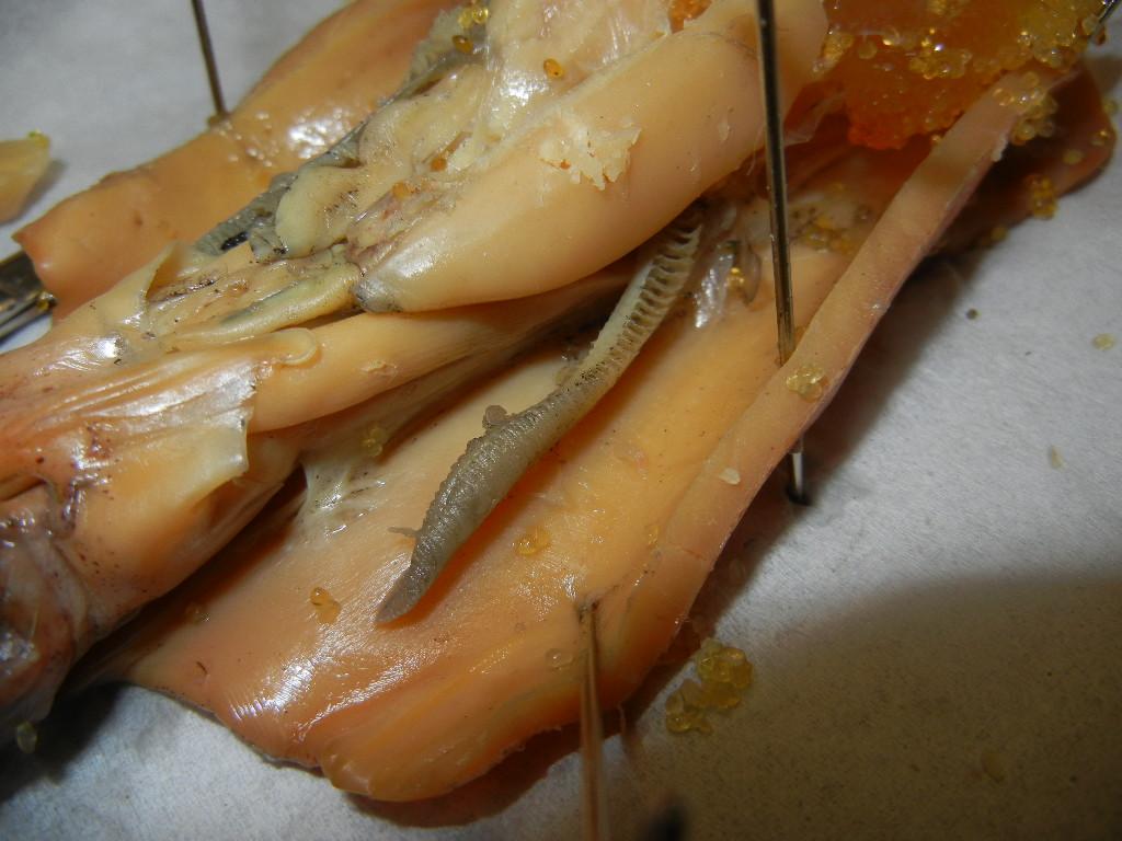 squid gill 01 jpg