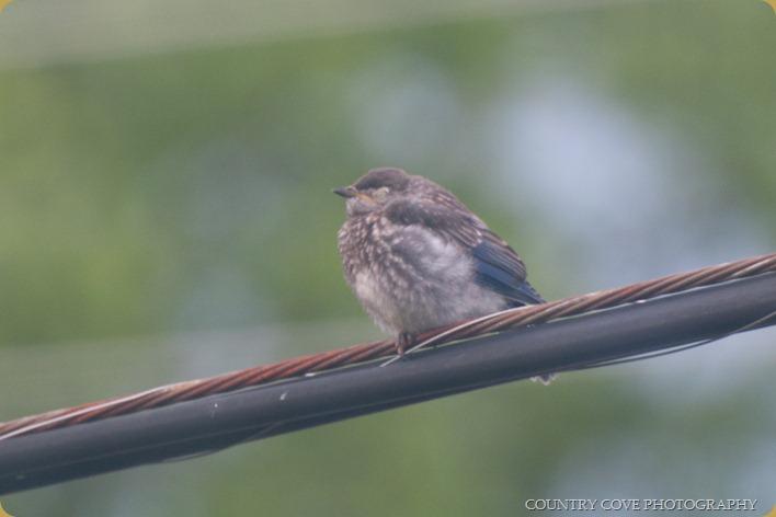 baby eastern  bluebird-3