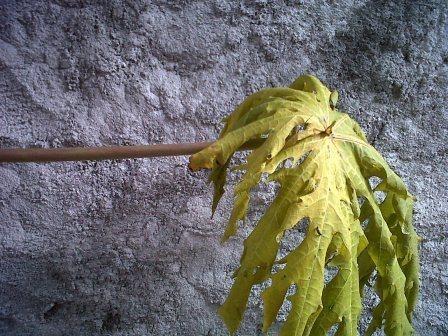 membuat terompet pelepah daun pepaya 01