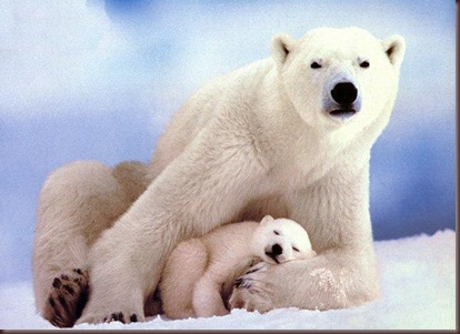 Amazing Animals Pictures Polic Bear (9)
