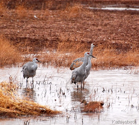 14. sandhill cranes-kab