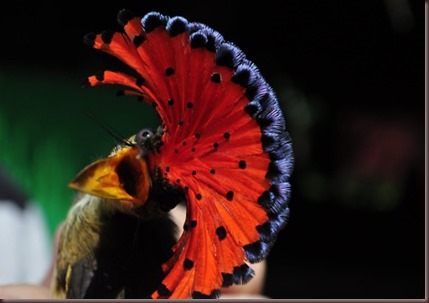 Amazing Animal Pictures Amazonian Royal Flycatcher (3)