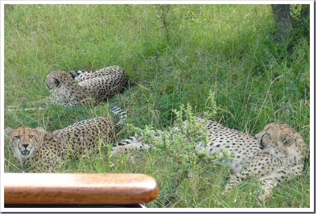 Hoedspruit-África-do-Sul-Safari-Game-Drives-Leopardos