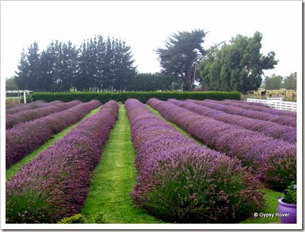 Lavender Farm at Mangatainoka