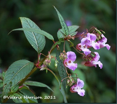 1-himalayan-balsam
