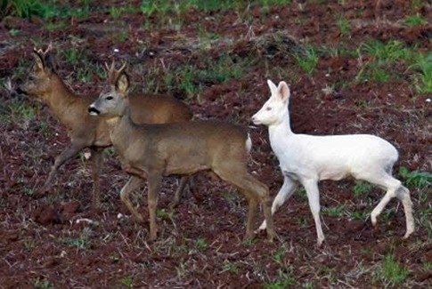 Albino Deers