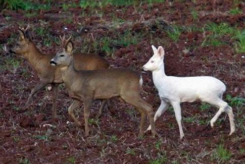 Albino Deers