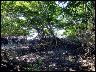 04g2 - Bay Shore Loop Trail - Red Mangroves