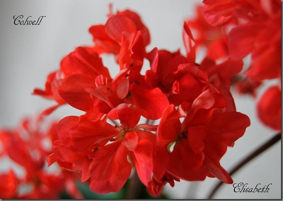 Pelargonium juni-11 206