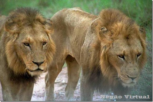 leões de njombe