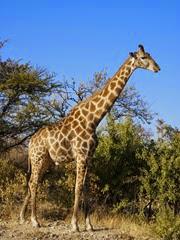 girafe angolaise