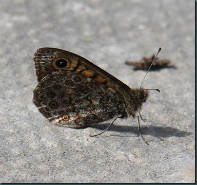 Wall-butterfly-side