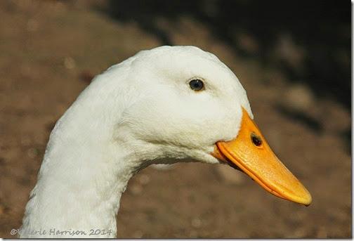 4-Duck