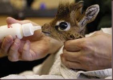 Amazing Pictures of Animals photo Nature, exotic, funny, incredibel Zoo, Dik-dik, antelope. Alex (17)